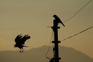 two crow
